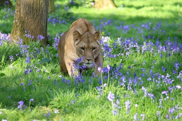 SWNS_LONGLEAT_LIONS_06