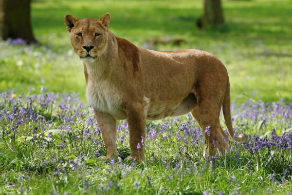 SWNS_LION_BLUEBELLS_02