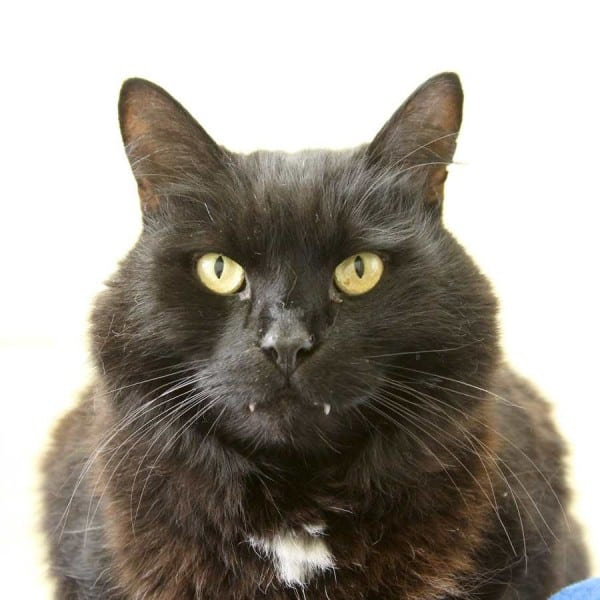 Cat Timmy at Lewknor rehoming centre